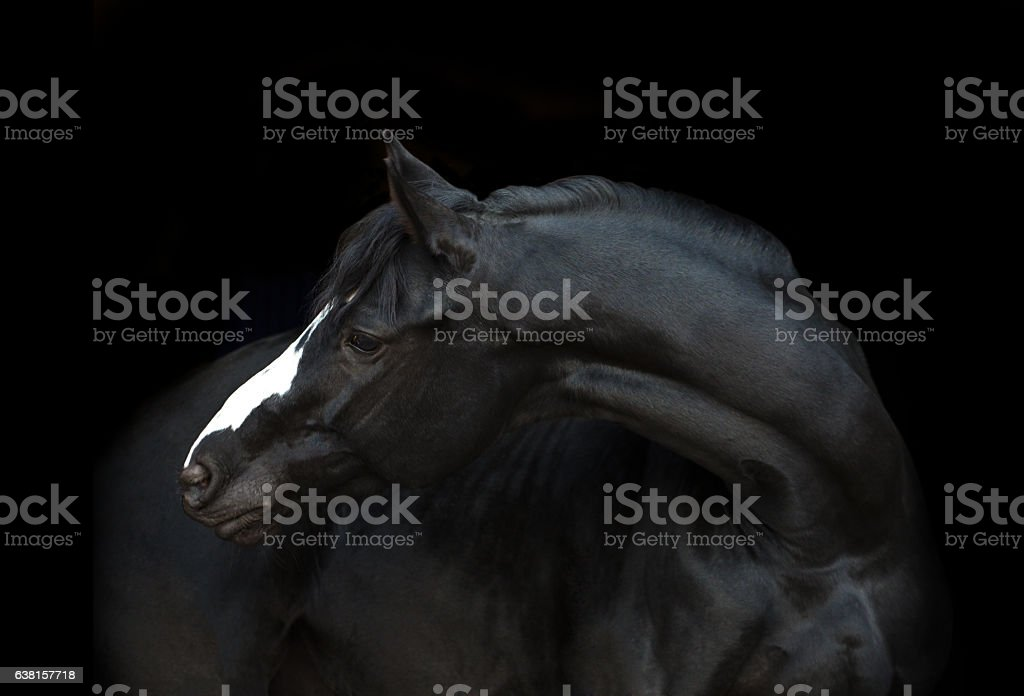 Portrait of the black horse on the black background stock photo