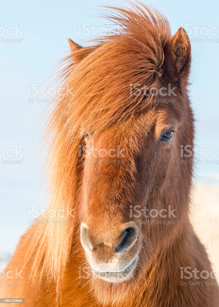 portrait of the brown shaggy Icelandic horse in winter. Iceland. stock photo