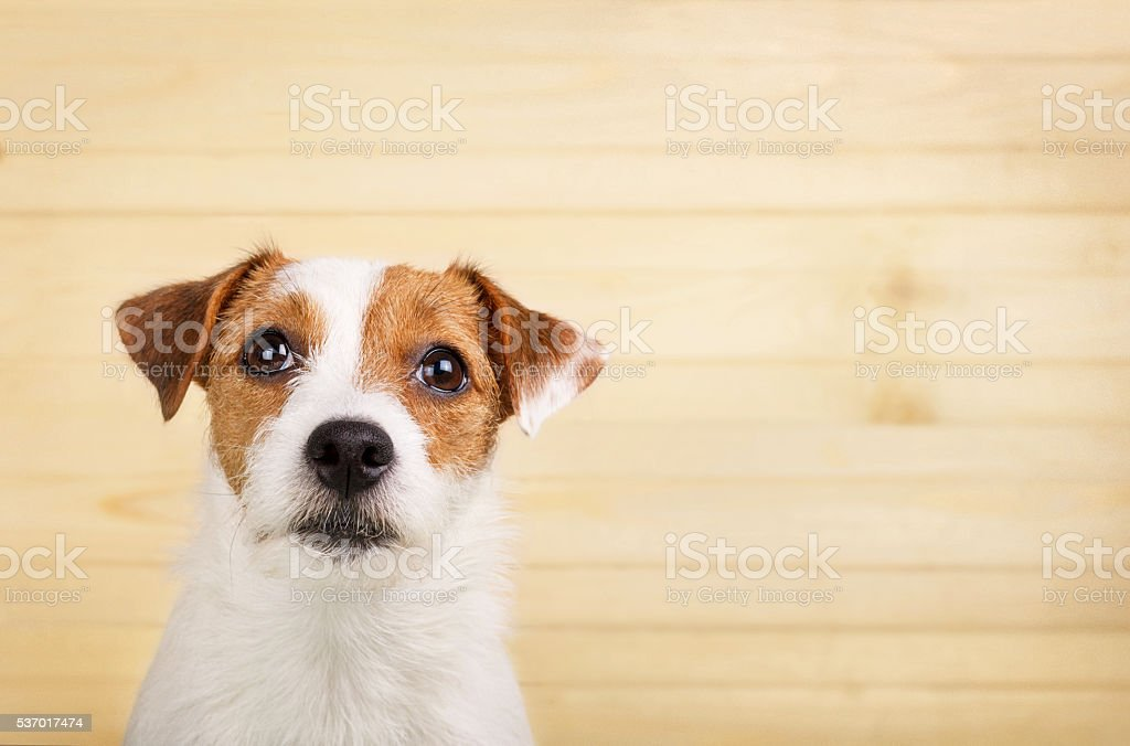 Portrait of the dog on the wood background stock photo