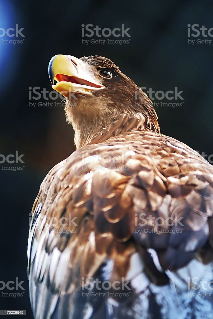 Portrait of the eagle royalty-free stock photo