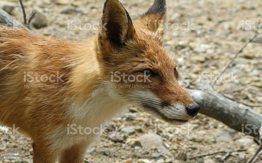Portrait of the fox, Kunashir island, Kuril stock photo