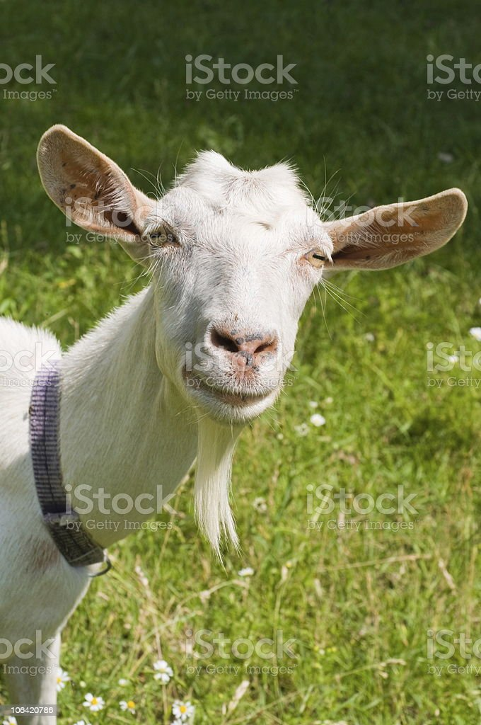 Portrait of the head of a white goat with large ears royalty-free stock photo