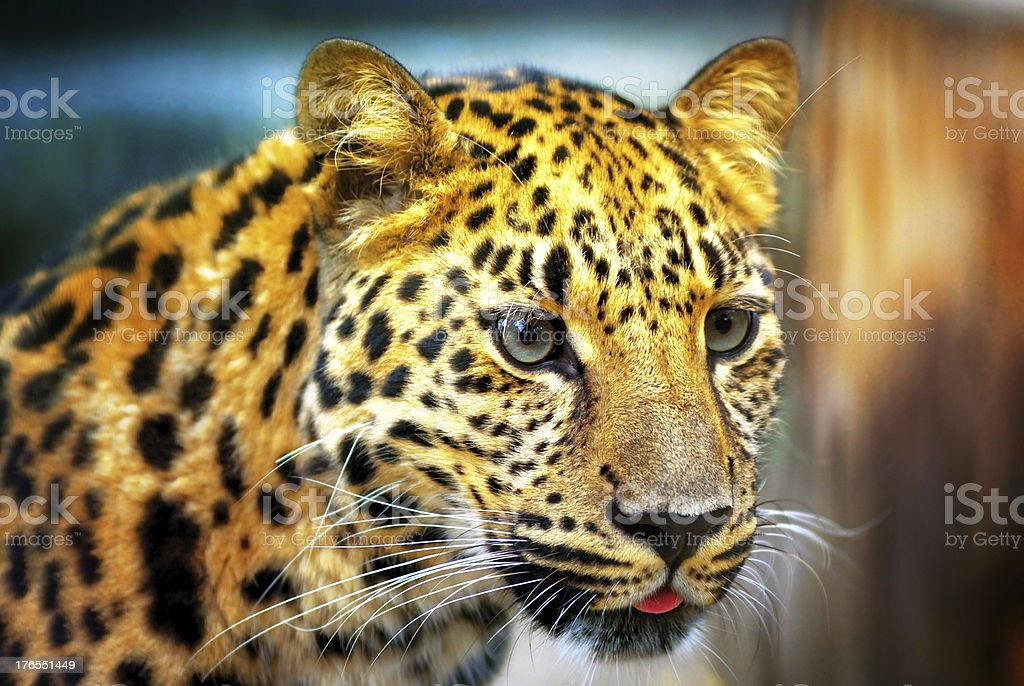 Portrait of the leopard royalty-free stock photo