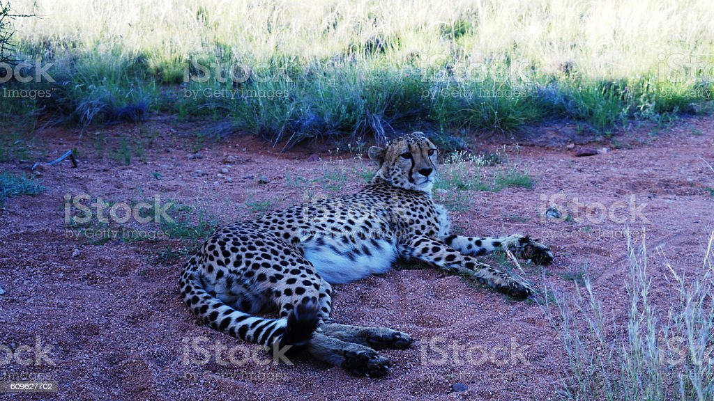 Portrait of the resting cheetah stock photo