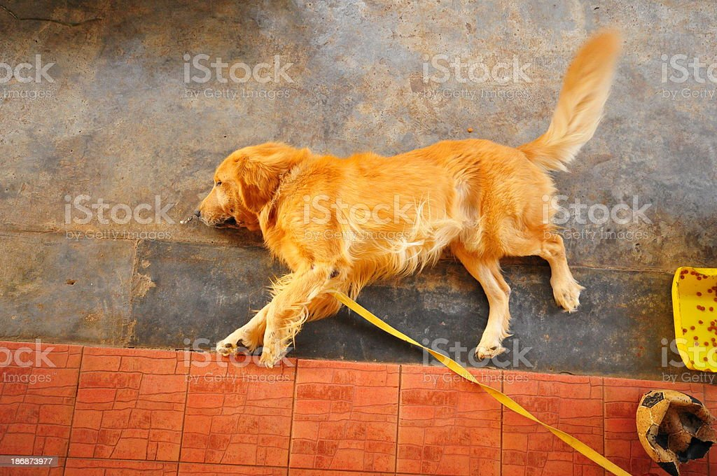 Portrait of the sleeping golden retriever royalty-free stock photo