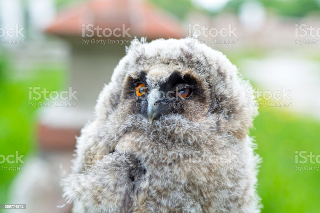 Portrait of the small owl stock photo