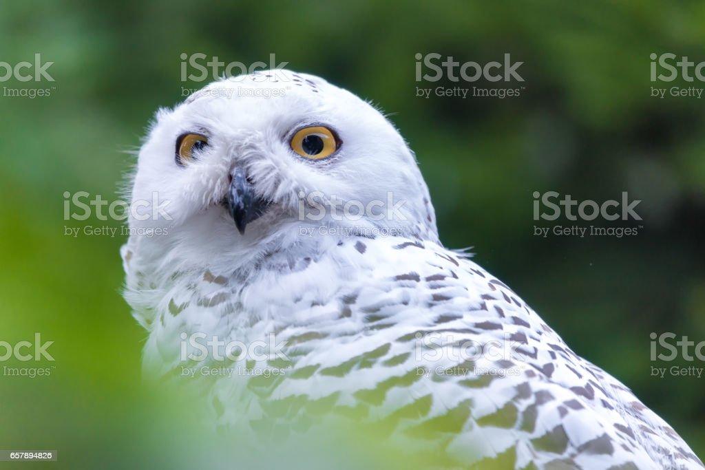 Portrait of the Snowy owl (Bubo scandiacus). stock photo