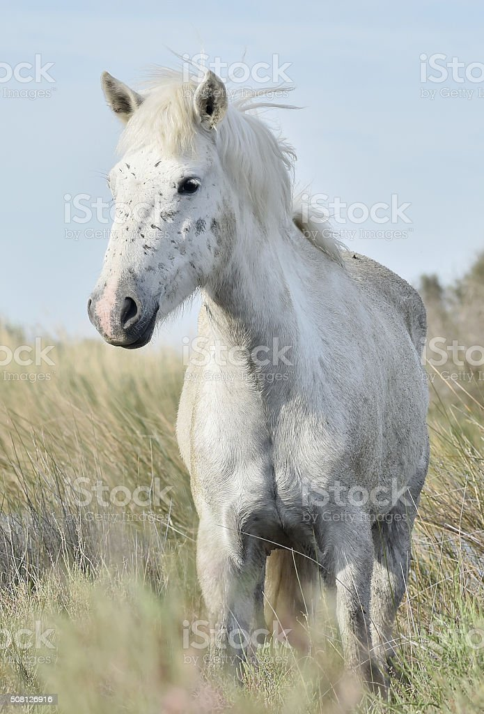 Portrait of the White Camargue Horse stock photo
