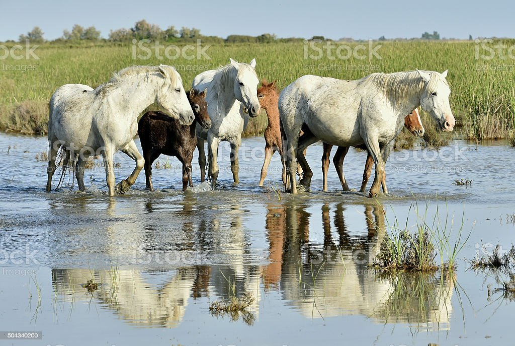 Portrait of the White Camargue Horse with a foal stock photo