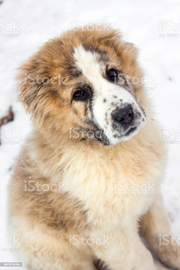 Portrait of three months puppy of Central Asian Shepherd (alabai) stock photo
