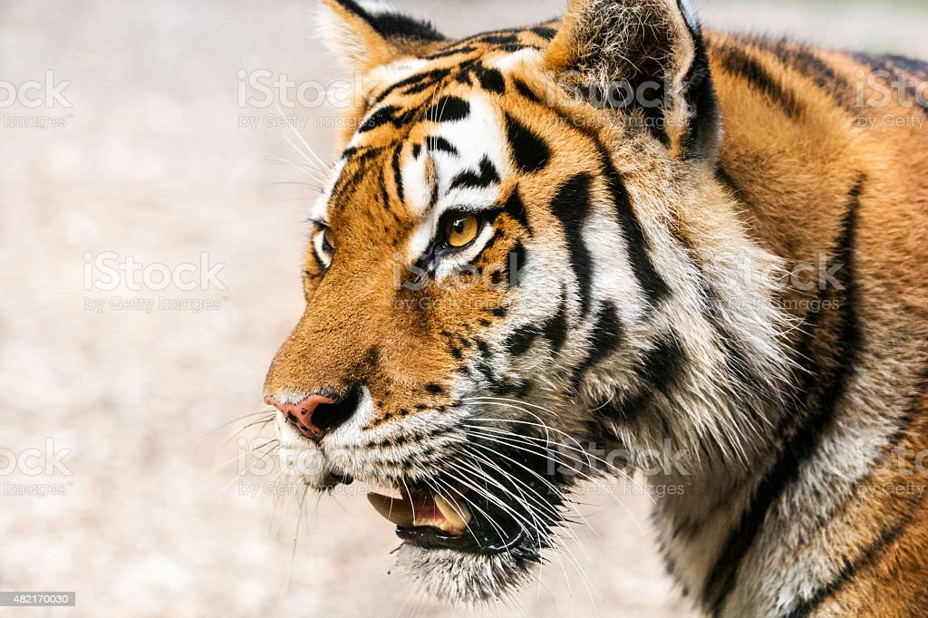 Portrait of tiger looking intently into distance stock photo