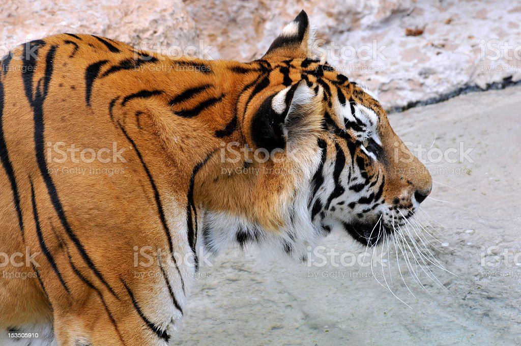 Portrait of tiger stock photo