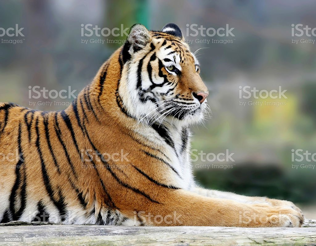 portrait of tiger royalty-free stock photo