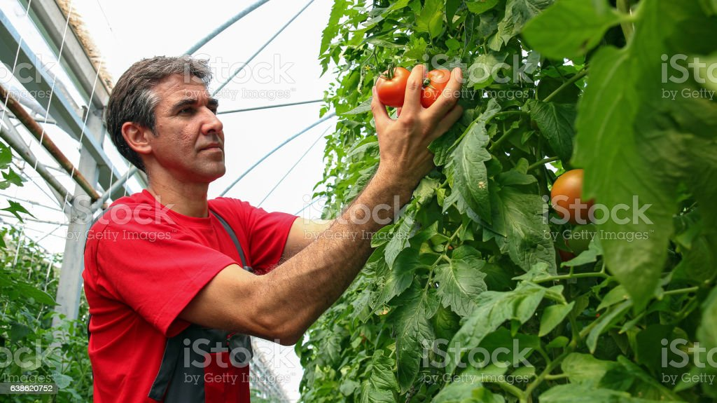 Portrait of Tomato Grower in Polytunnel stock photo