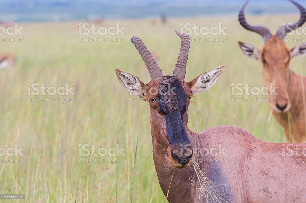 Portrait of Topi gazelle stock photo