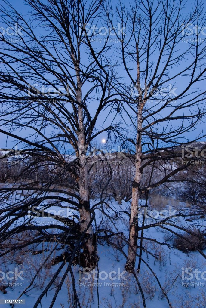 Portrait of Trees in Deep Snow at Night stock photo