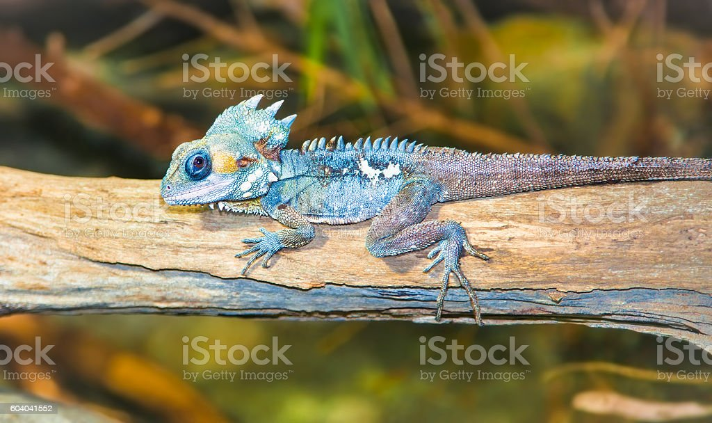 Portrait of tropical iguana sits on a branch stock photo