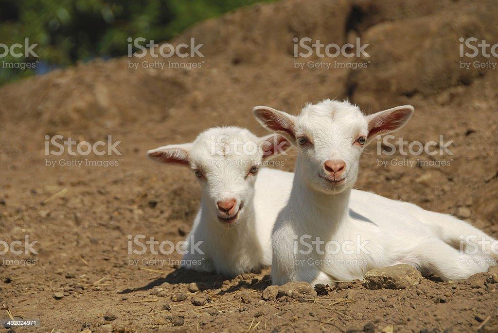 Portrait of tweo Saanen kid goats . stock photo