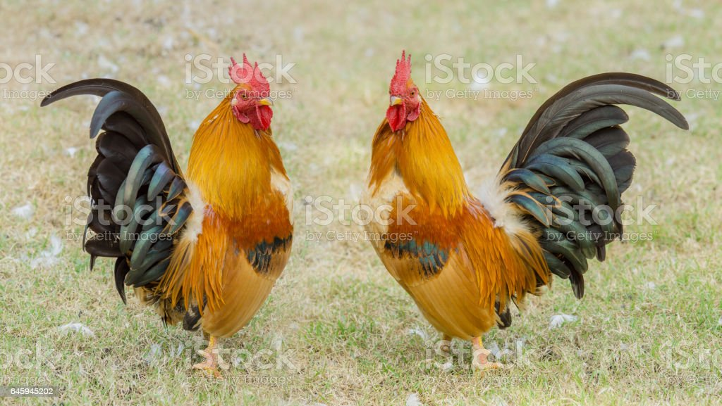 portrait of two bantam chickens stock photo
