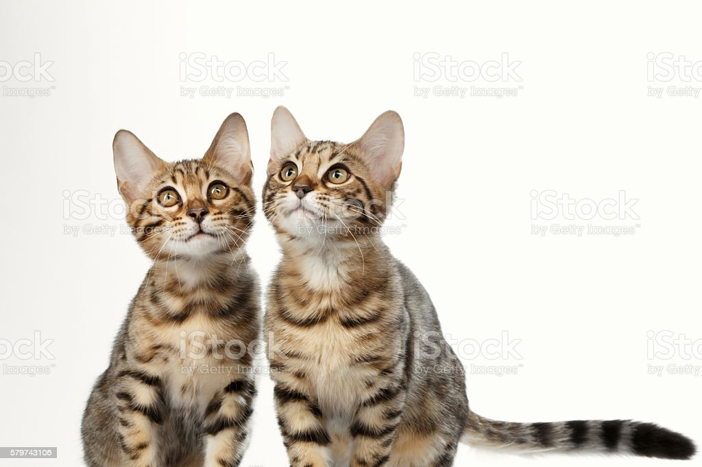Portrait of Two Bengal Kitten on White Background stock photo