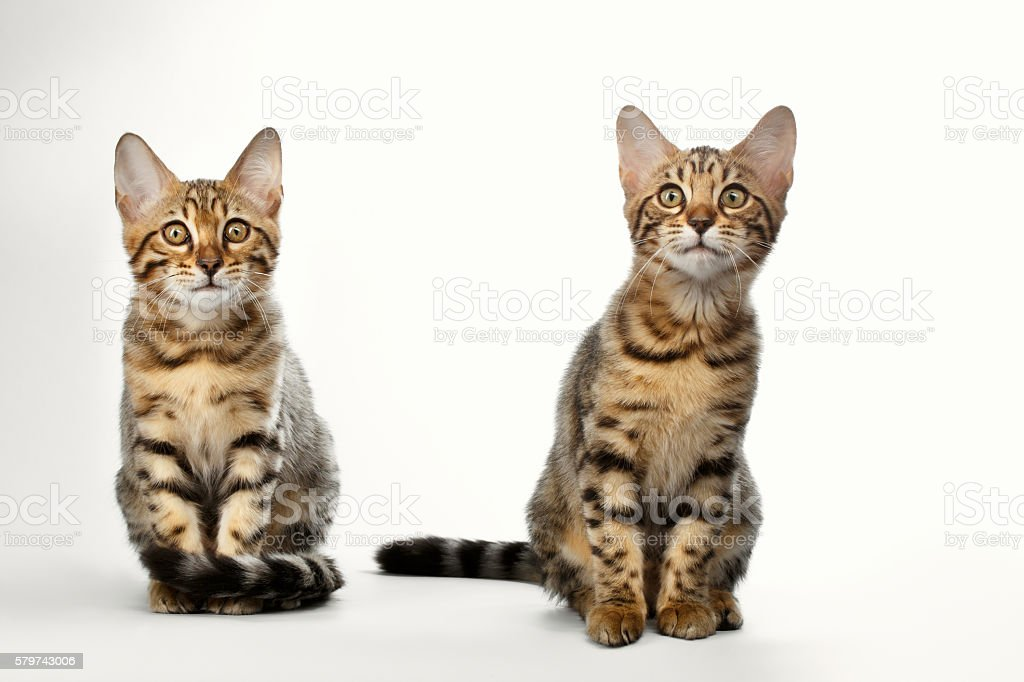 Portrait of Two Bengal Kitten Sitting on White Background stock photo