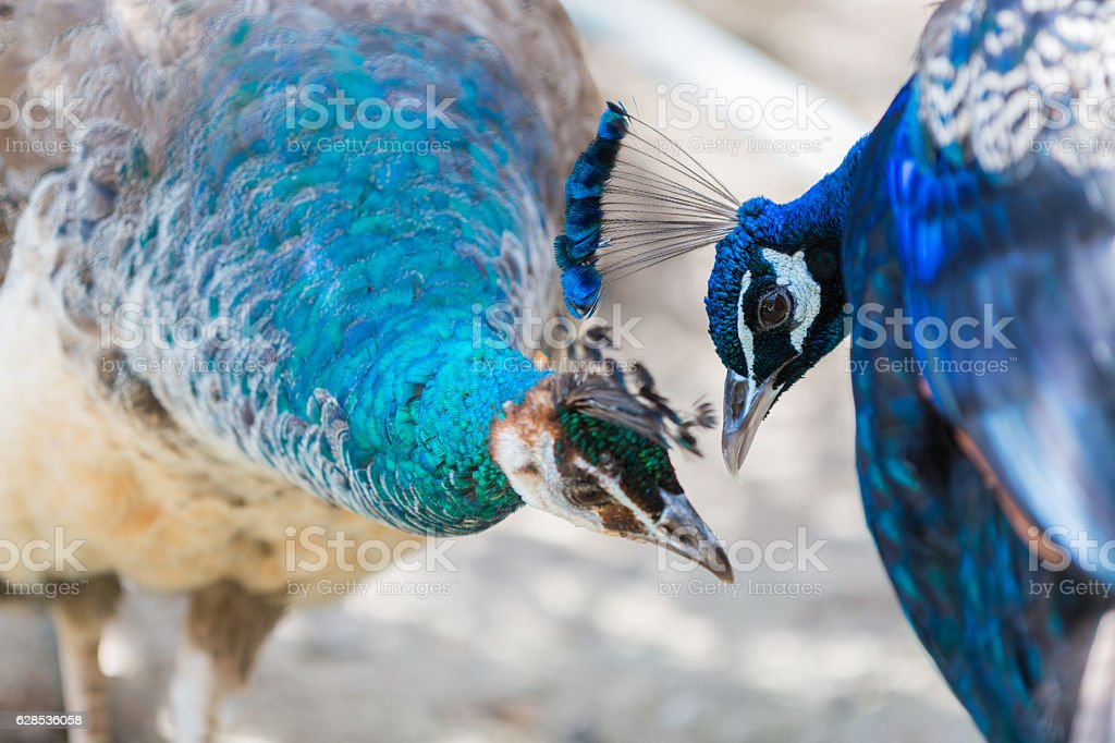 portrait of two blue peacock in love. stock photo