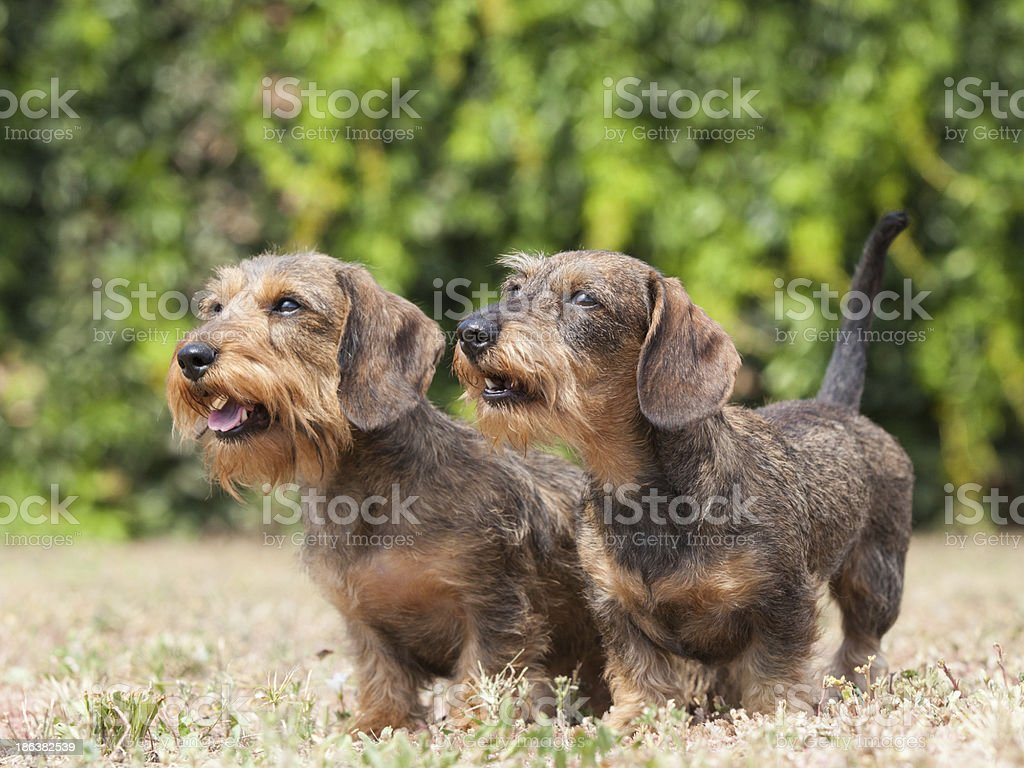 Portrait of two dogs breed Wire-haired dachshund stock photo