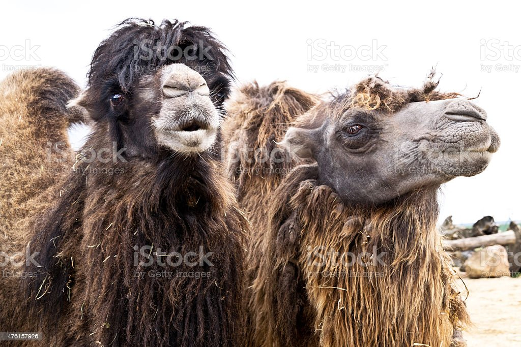 portrait of two domestic bactrian camels in zoo stock photo
