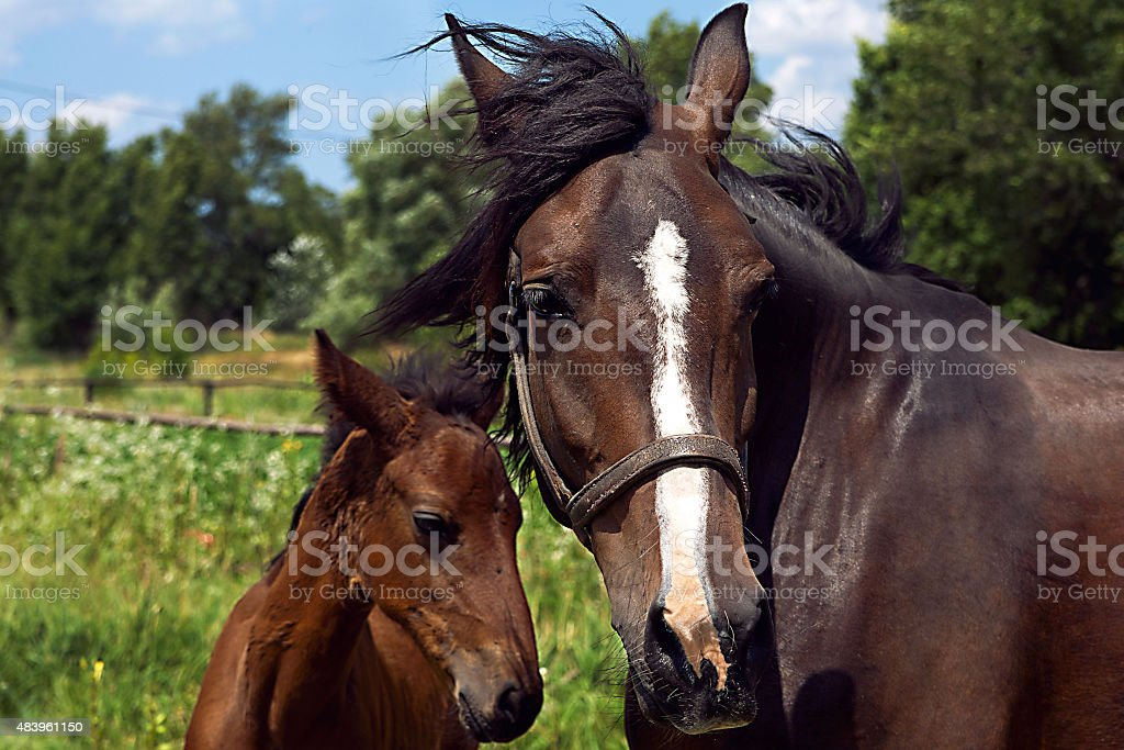 Portrait of two horses royalty-free stock photo