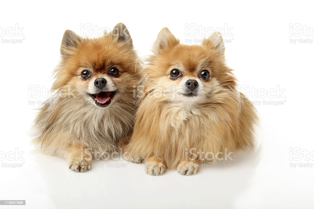 Portrait of two little dogs stock photo