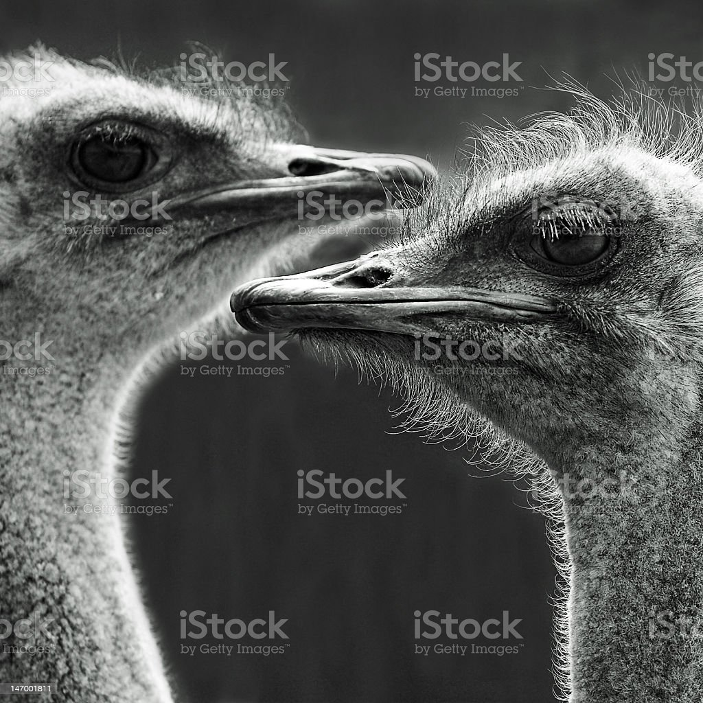 Portrait of two ostriches royalty-free stock photo