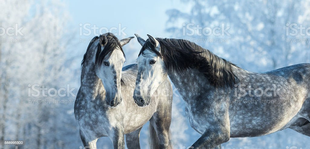 Portrait of two spanish grey stallions in winter forest stock photo