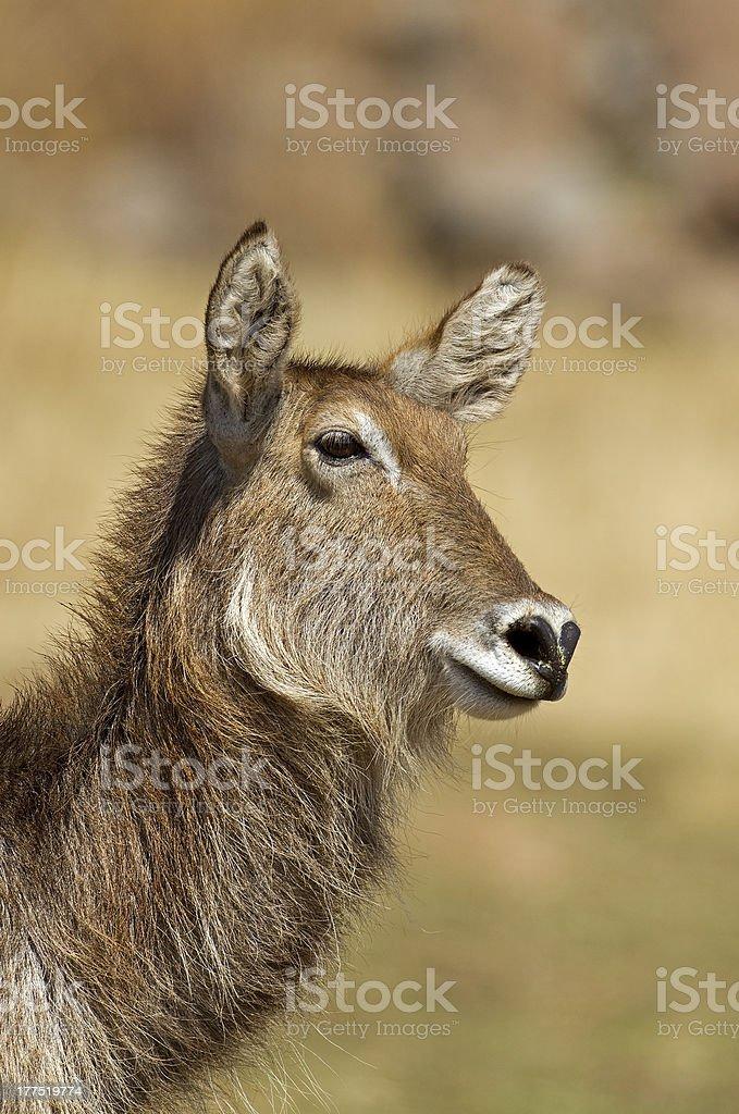 Portrait of waterbuck stock photo