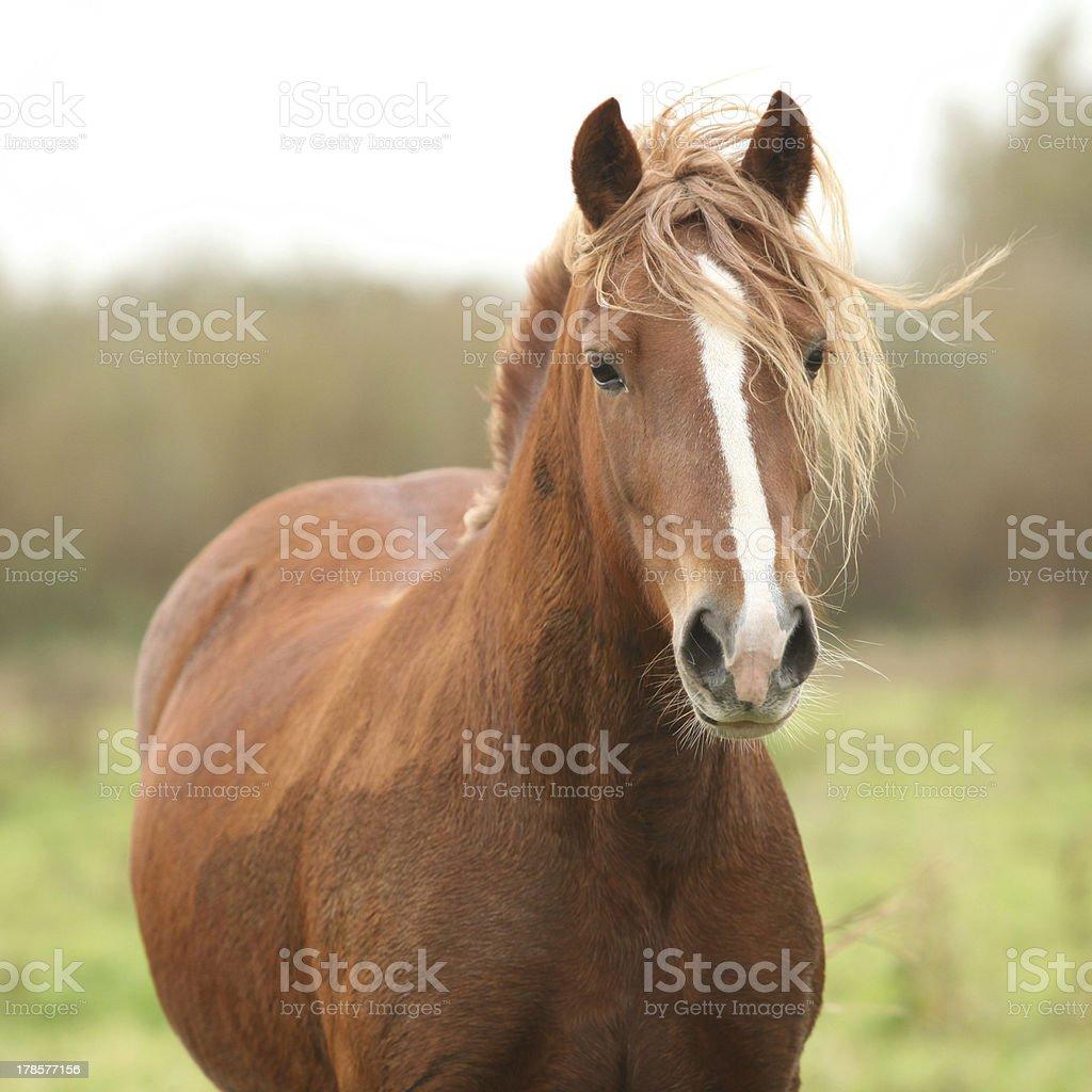 Portrait of welsh pony stock photo