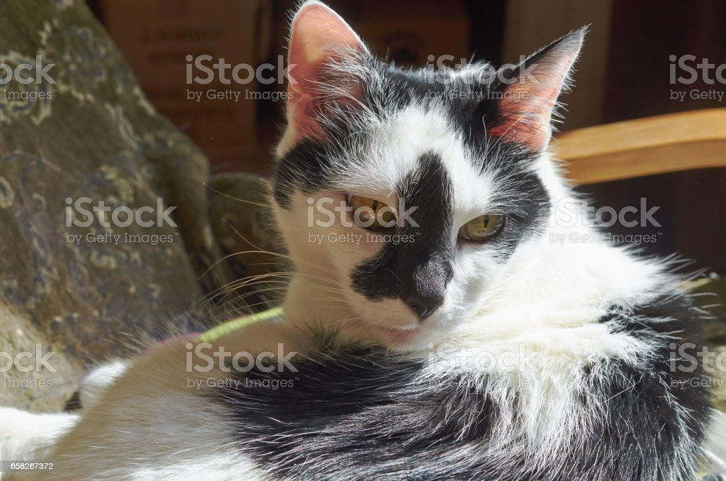 Portrait of white and black cat close up. stock photo