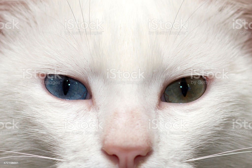 Portrait of White Cat stock photo