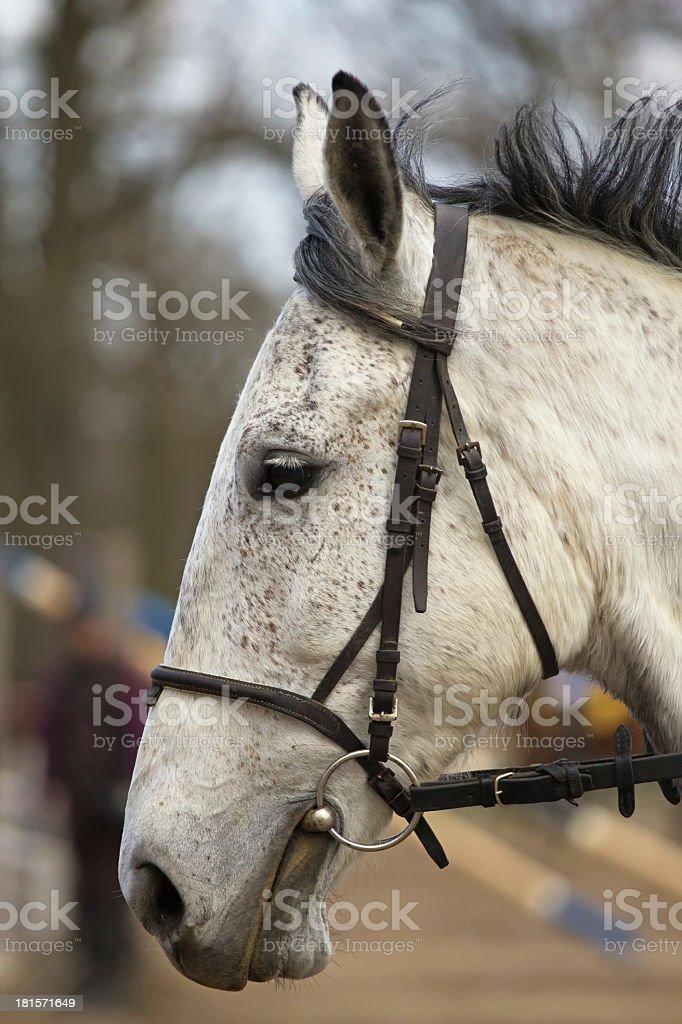 Portrait of white horse royalty-free stock photo