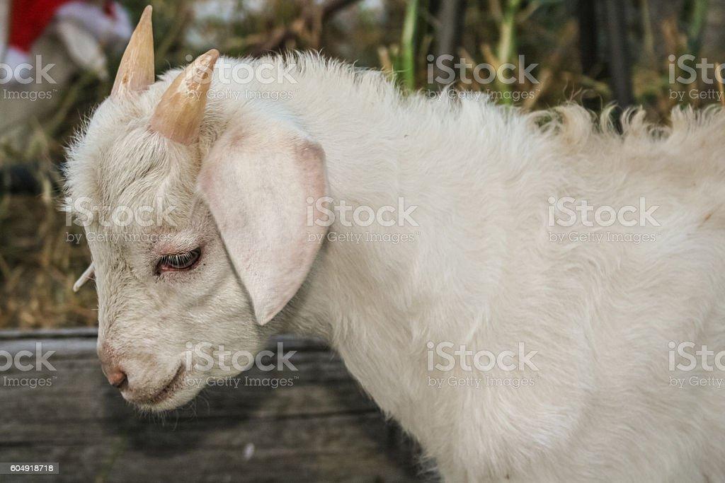 Portrait of white kid goat stock photo