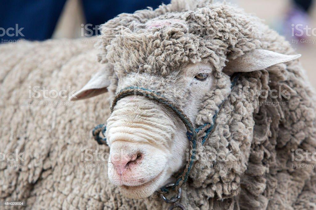 Portrait of white lamb at the Otavalo Animal Market, Ecuador stock photo