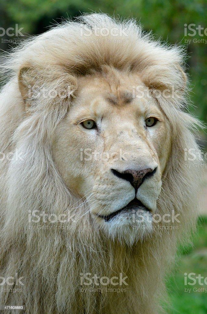 Portrait of white lion royalty-free stock photo