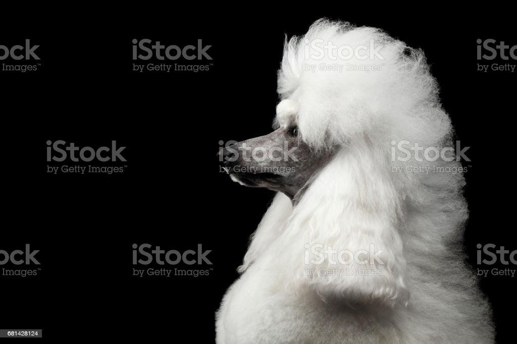 Portrait of White Royal Poodle Dog Isolated on Black Background stock photo