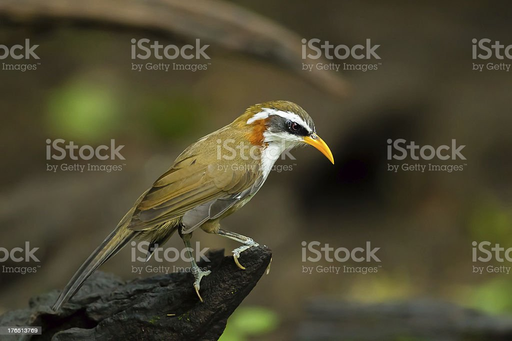 Portrait of White-browed Scimitar-babbler royalty-free stock photo