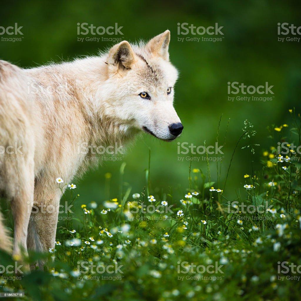 Portrait of wild Arctic Wolf stock photo
