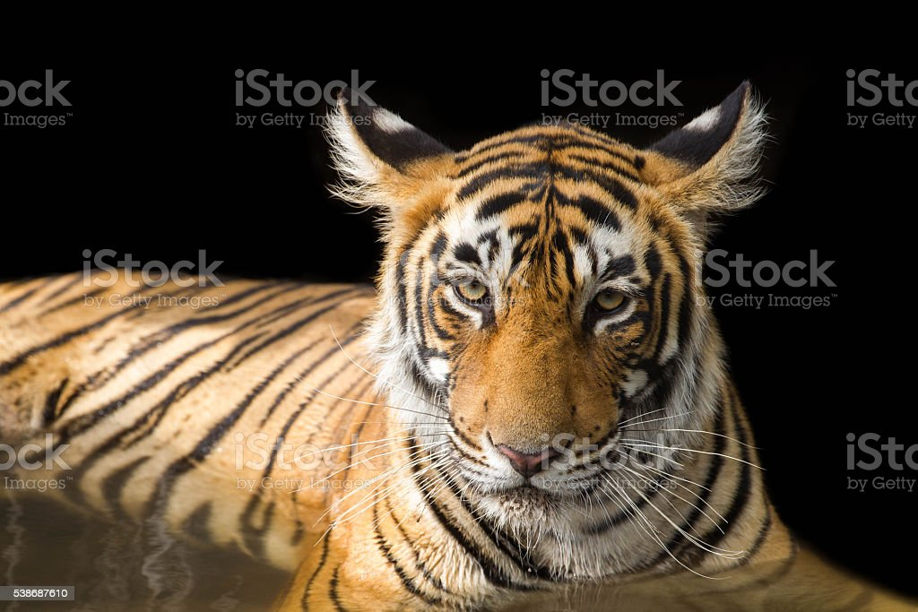Portrait of Wild Bengal Tiger - India stock photo