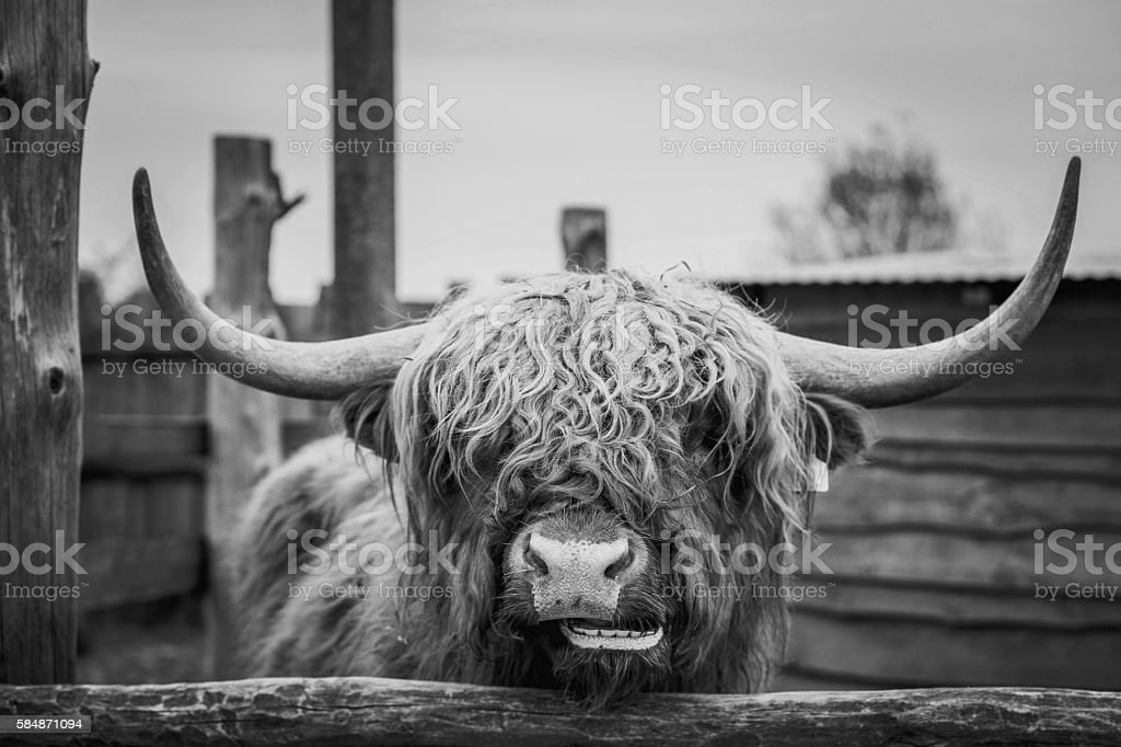 Portrait of wild cow at the zoo stock photo