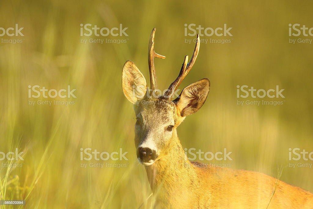 portrait of wild roe deer buck stock photo