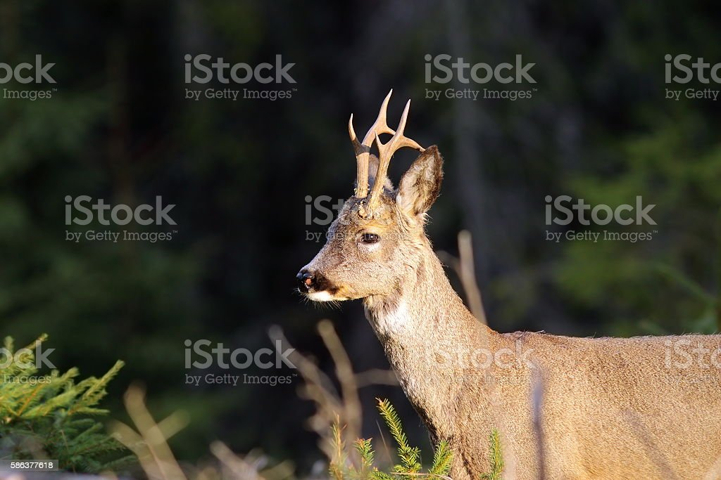 portrait of wild roebuck stock photo
