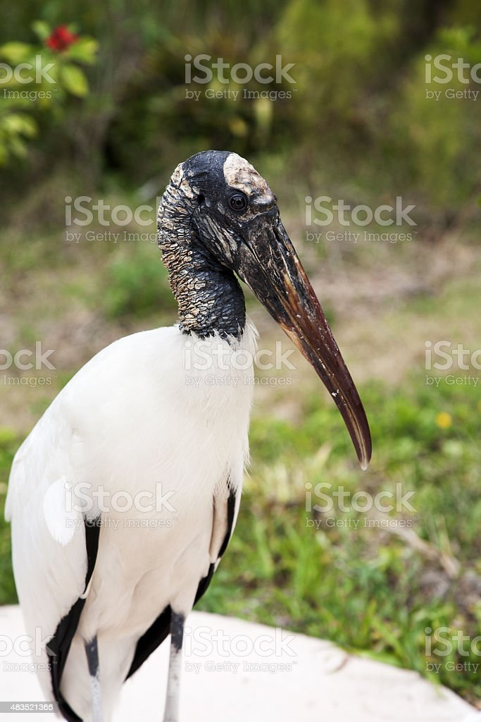 portrait of  Wood stork on a background of green grass stock photo