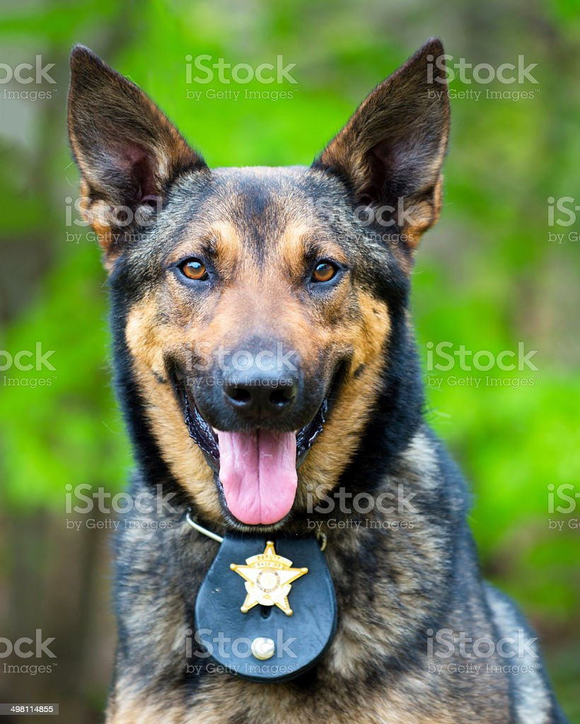 Portrait of working police dog stock photo