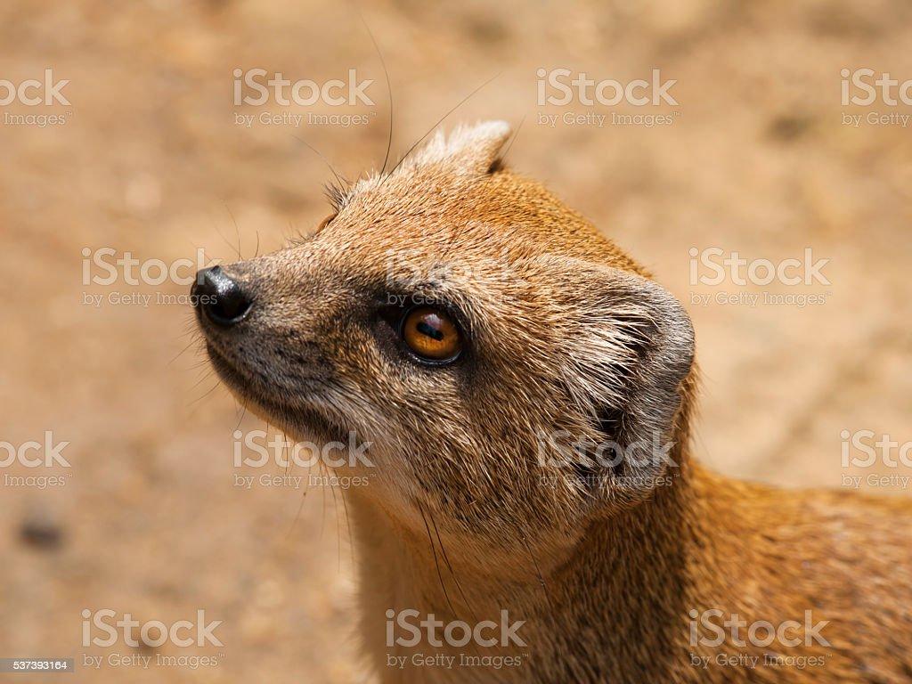 Portrait of Yellow mongoose - Cynictis penicillata stock photo